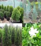 تولید و فروش کلیه گلها و گیاهان فضای باز کاج، کامیس، سرو، شمشاد و غیره