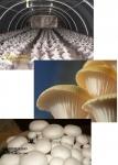 آموزش کشت قارچ - کمپوست قارچ  0199762163