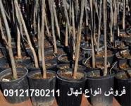 فروش نهال درختان سایز بزرگ ، نهال مثمر و غیر مثمر
