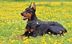 فروش سگ روتوایلر