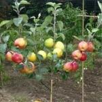 فروش نهال درختان میوه ، نهال مثمر ، نهال زینتی