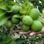 فروش نهال لیمو شیرین