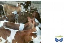بزرگترین دامداری نمونه گوساله سیمینتال فروش