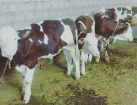 فروش گوساله سیمنتال هلشتاین اصیل