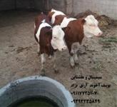 خرید و فروش گوساله  سیمینتال