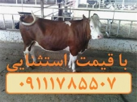 فروش گوساله سمینتال و هلشتاین