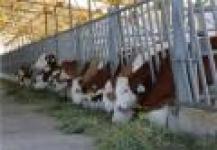 خرید و فروش انواع نژاد های اصلی گوساله سمینتال و هلشتاین