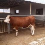 فروش انواع گوساله , فروش گوساله سمینتال , فروش گوساله هلشتاین