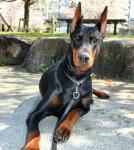پرورش تخصصی دوبرمن , پرورش تخصصی سگ دوبرمن , واردات انواع نژاد سگ