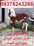 فروش انواع گوساله های سیمینتال و هلشتاین