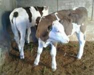 فروش انواع گاو و گوساله نر و ماده, فروش گاو و گوساله در گلستان