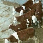 فروش گاو و گوساله در بندر ترکمن