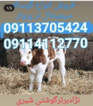 خرید و فروش گوساله سیمینتال,خرید فروش گوساله پرواری سیمینتال