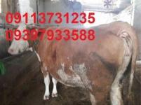 فروش انواع گوساله در بندر ترکمن,فروش گوساله سمینتال, فروش گوساله هلشتاین