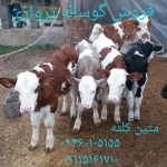 گوساله پرواری,گوساله سیمینتال,گوساله هولشتاین,گوساله هولشتاین محلی,گوساله دو رگ محلی,فروش گوساله برای پروار,فروش گوساله بومی,فروش گوساله بلژیکی,فروش گوساله خالص,فروش خوراک گوساله پرواری,فروش گوساله صنعتی,