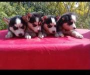فروش ویژه سگ های هاسکی