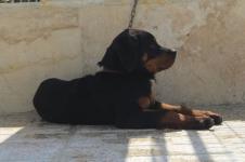 فروش سگ رتوایلر اصیل