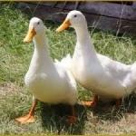 فروش تخم اردک پکنی و محلی نطفه دار