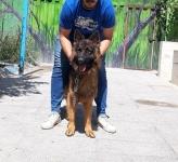 ژرمن شپرد های نگهبان(سگ نظامی و سگ امدادگر)
