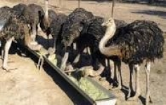 فروش شترمرغ مولد