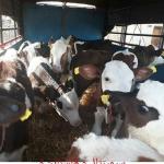 خرید و فروش انواع گوساله