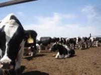اجاره گاوداری شیری، فروش گاوداری شیری
