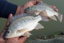 فروش ماهی تیلاپیا زنده در سایز های مختلف