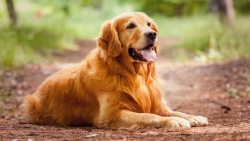 Most-Cute-Golden-Retriever-Sitting-In-Jungle